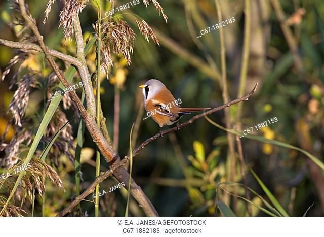 Bearded Tit Panurus biarmicus feeding in reedbed at RSPB Titchwell reserve