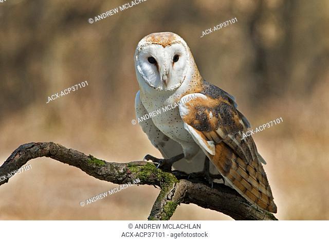 Barn Owl tyto alba perched on branch - captive