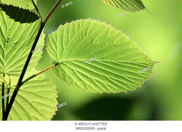 Dove, Tree, leaves, in, spring, North, Rhine-Westphalia, Germany,Davidia, involucrata