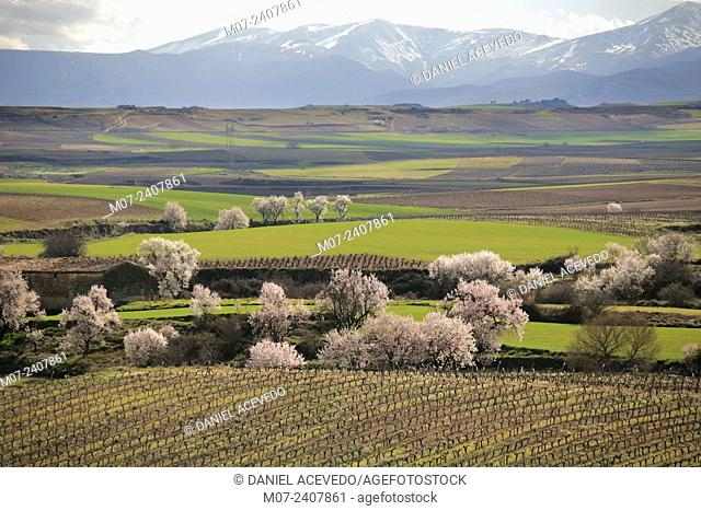 Vineyards, almondtrees and cereal in wine Rioja region, Briones land, Spain, Europe