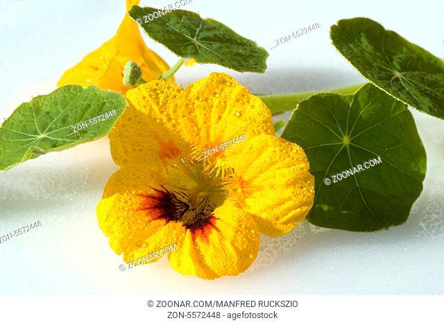 Kapuzinerkresse, Tropaeolum majus, Rankpflanze, Essblume, essbare Blumen, Heilpflanzen