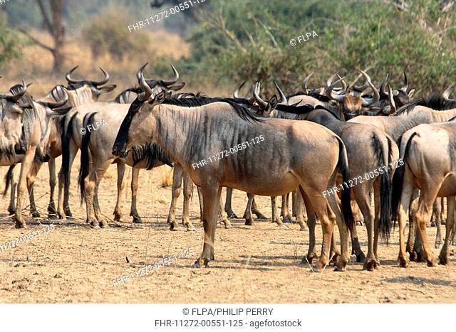 Cookson's Wildebeest Connochaetus taurinus cooksoni herd, South Luangwa N P , Zambia