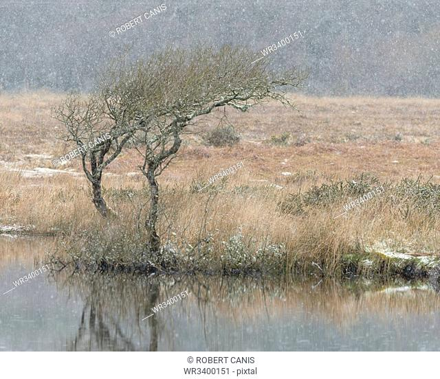 Hawthorn and snowfall, Broad Pool, Gower, South Wales, United Kingdom, Europe