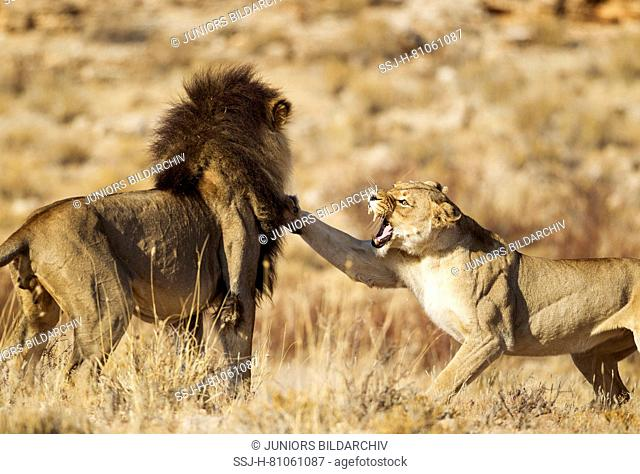 Lion (Panthera leo). Female in heat and male at their first encounter. The initial aggressive behaviour of the female is typical