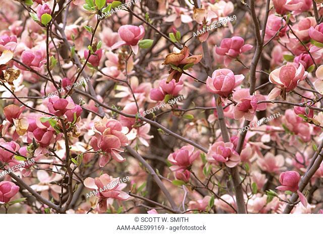 Magnolia Tree Boughs in Bloom, Washtenaw, MI