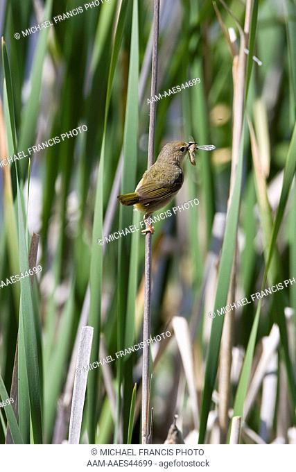 Common Yellowthroat (Geothlypis trichas), female in cattails with greasshopper during summer Wyoming
