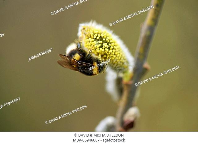 nothern white-tailed bumblebee, Bombus magnus, catkins, pollinate, close-up