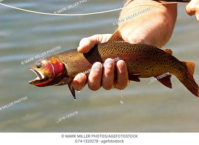 Newly Caught Cutthroat Trout