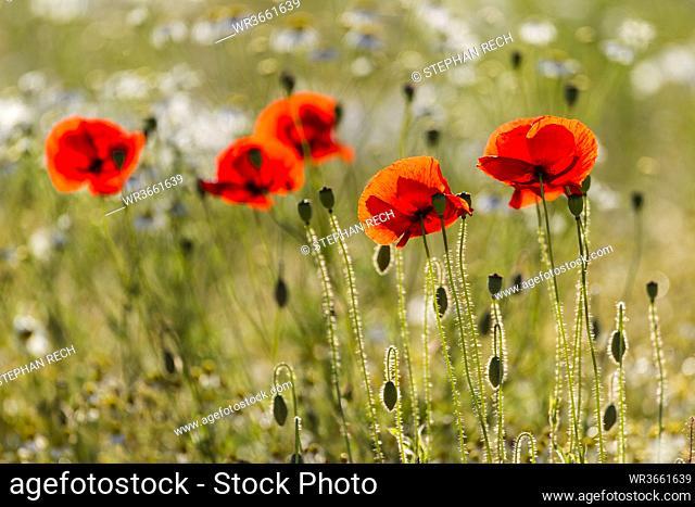 Germany, Hesse, Corn poppy flower