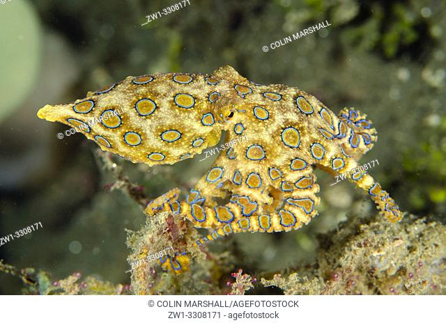 Blue-ringed Octopus (Hapalochlaena sp), Laha dive site, Ambon, Maluku (Moluccas), Indonesia