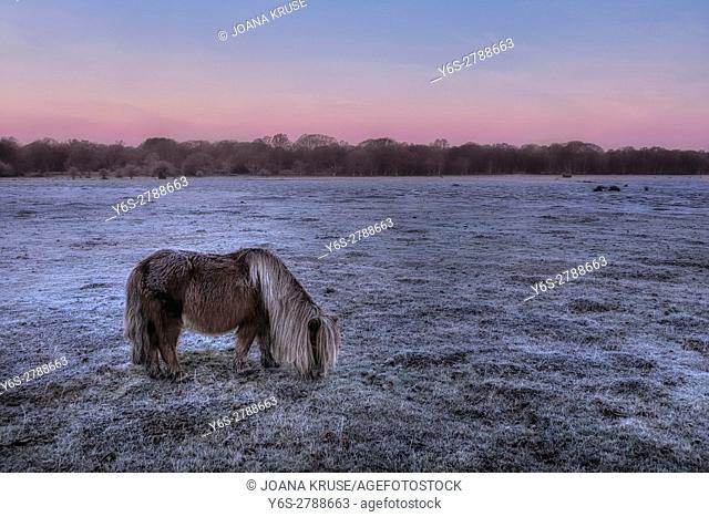 Balmer Lawn with wild roaming pony in sunrise, Brockenhurst, New Forest, Hampshire, England, UK