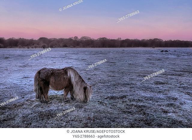 Balmer Lawn with wild roaming pony in sunrise, Brockenhurst, New Forest, Hampshire, England, UK