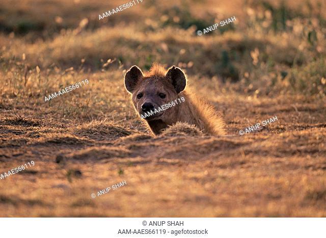 Spotted Hyaena head emerging from den at sunset (Crocuta crocuta) Serengeti National Park, Tanzania