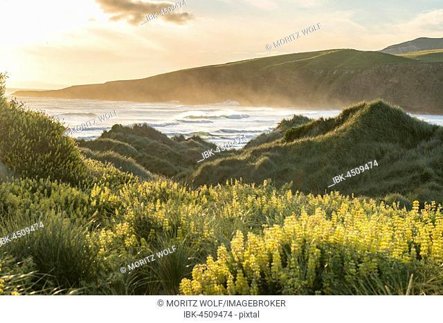 Blooming yellow lupines (Lupinus), Sandfly Bay, Dunedin, Otago, Otago Peninsula, Southland, New Zealand