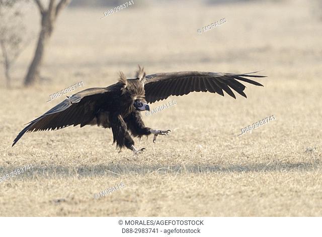 Asia, India, Rajasthan, Bikaner, Cinereous vulture (Aegypius monachus), on the ground