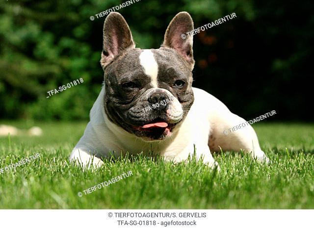 lying french bulldog