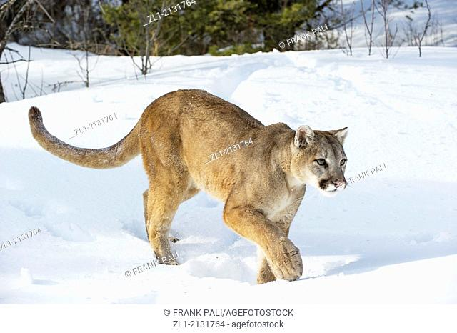 Mountain Lion (Puma concolor couguar) in snow, winter, captive.Bozeman,Montana