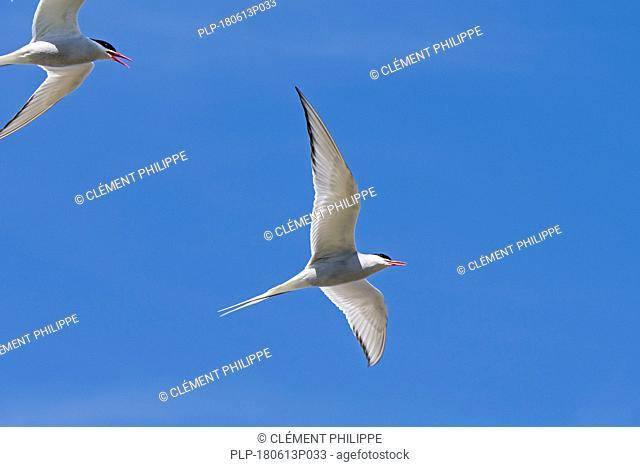 Two Arctic terns (Sterna paradisaea) in flight against blue sky, Scotland, UK