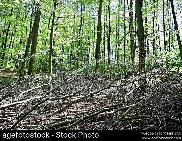 21 April 2020, North Rhine-Westphalia, Wuppertal: Old and dry branches lie in a forest in the Ronsdorf district. Due to the long dryness the danger of forest...