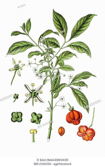 European spindle or common spindle (Euonymus europaeus), medicinal plant, historical chromolithography, ca. 1796