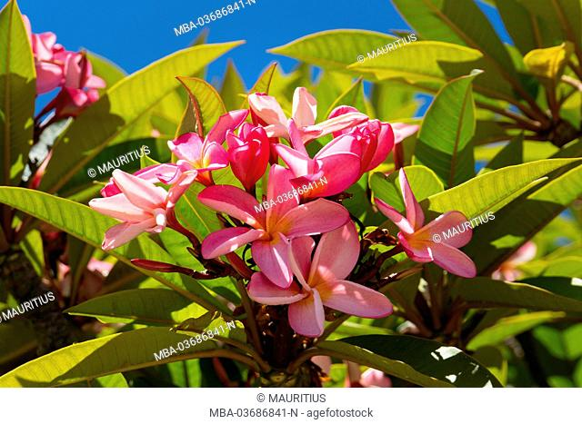 Rose blossoms of frangipani