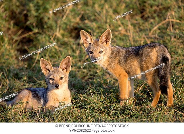 young Black-backed Jackals (Canis mesomelas) in savannah, Masai Mara, Kenya