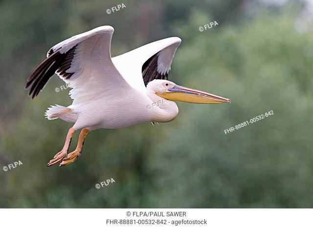 Great White Pelican (Pelecanus onocrotalus) adult, breeding plumage, flying, Danube Delta, Romania, June
