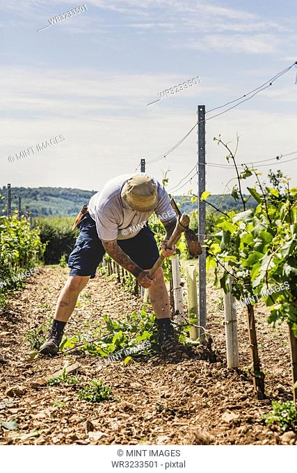 Man standing in between rows of vines at a vineyard, working on soil with a pick axe