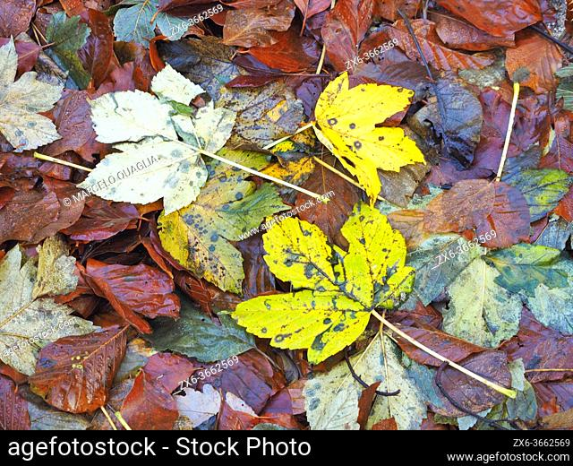 Autumn leaves at Marianegre stream site. Montseny Natural Park. Barcelona province, Catalonia, Spain