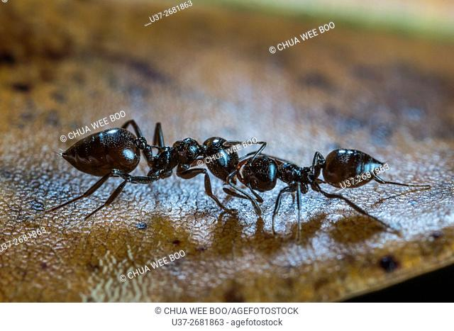 Two ants fighting. Image taken at Stutong Forest Reserve Parks, Kuching, Sarawak, Malaysia