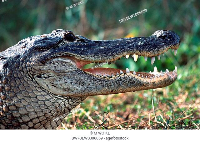 American alligator Alligator mississippiensis, portrait, with opened mouth, USA