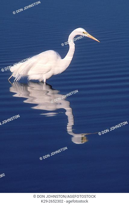 Great Egret (Casmerodius albus), Ding Darling NWR, FL, USA