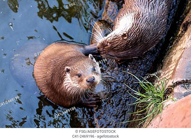 Otter. Centre de Fauna del Pont de Suert. Lleida, Spain