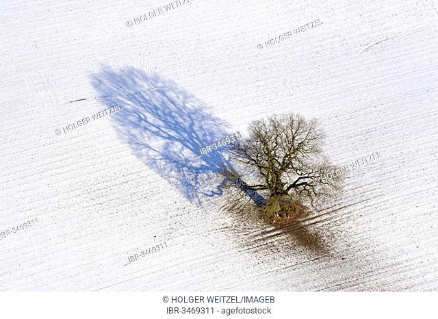 Aerial view, Oak (Quercus) in winter