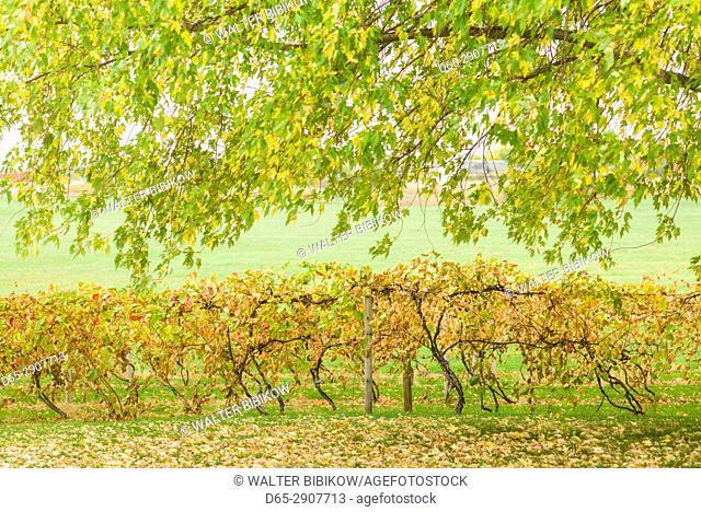 USA, New York, Thousand Islands Region, Alexandria Bay, vineyard, autumn