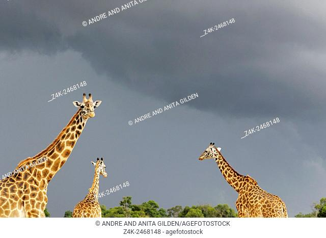 Giraffe (Giraffa camelopardalis) against dark sky
