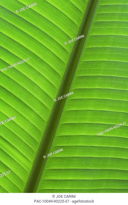Hawaii, Oahu, Detail of tropical leaf