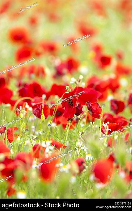 Poppy fields (Papaver rhoeas). Almansa. Albacete