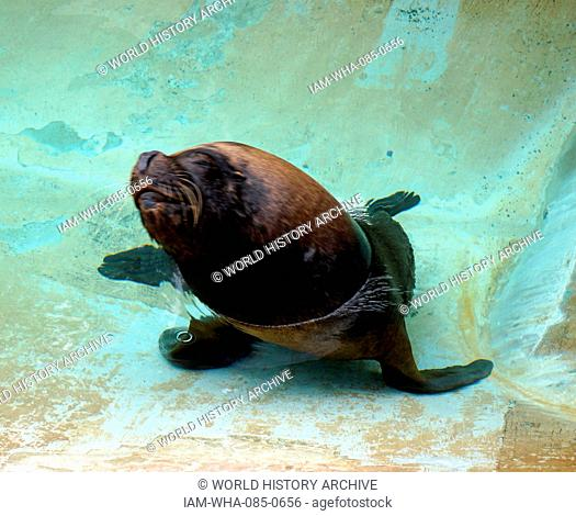 The South American sea lion (Otaria flavescens, formerly Otaria byronia), also called the southern sea lion and the Patagonian sea lion
