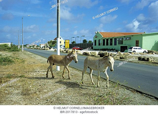 Wild donkeys, Bonaire island, Lesser Antilles, former Netherlands Antilles, Caribbean