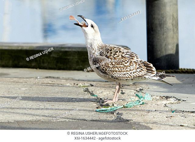 Herring Gull Larus argentatus, Immature Bird Swallowing Fish, Gillelije Harbour, Sjaelland, Denmark
