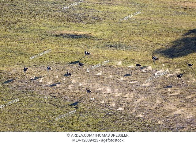 Ostrich - running - aerial view - Okavango Delta, Moremi Game Reserve, Botswana