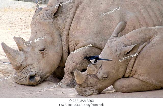 Rhinoceros with her ??calf and a bird