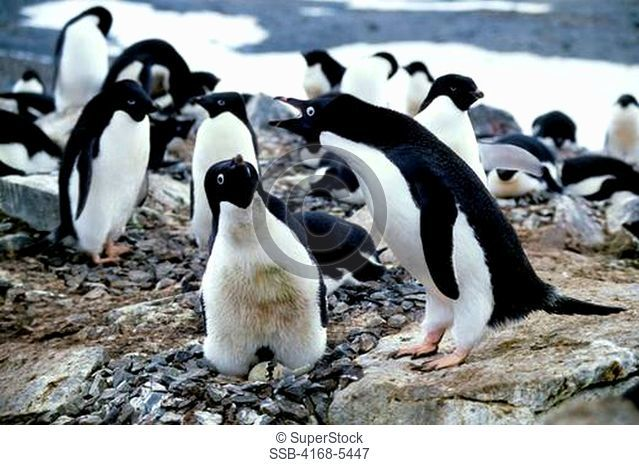 ANTARCTICA,ADELIE PENGUINS 'NEST RELIEF' CEREMONY, WITH HATCHING CHICK