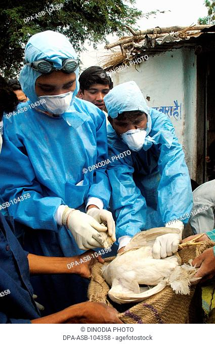 Government health workers go house to house to cull  infected chickens in the backyard of the villager's houses at Hingona village in Jalgaon district as Bird...