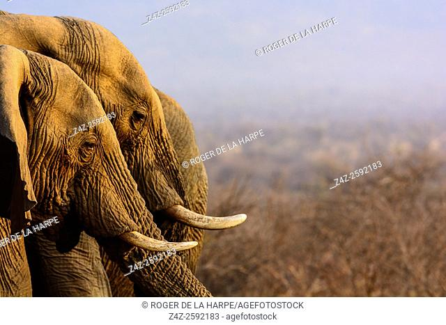 African bush elephant (Loxodonta africana) drinking. Madikwe Game Reserve. North West Province. South Africa