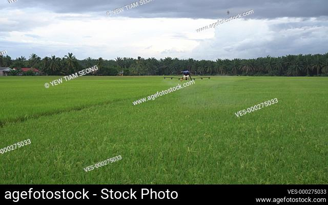 Agriculture drone spraying pesticide at paddy field. Rice grow season