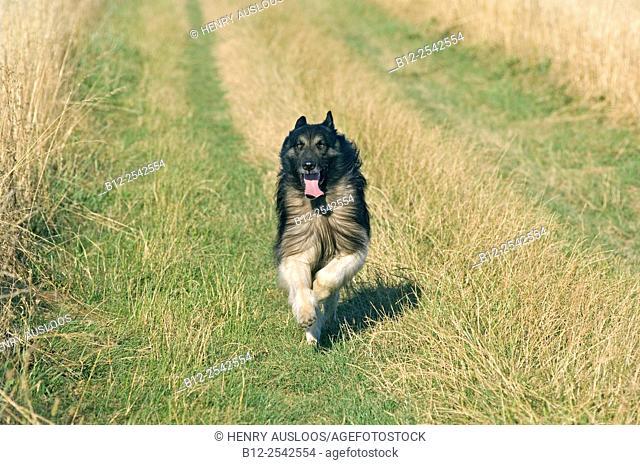 Belgian shepherd, Tervuren Canis familiaris