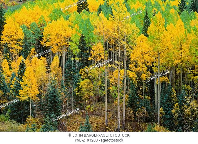 Mixed aspen spruce forest displaying autumn color, Uncompahgre National Forest, southwest Colorado, USA