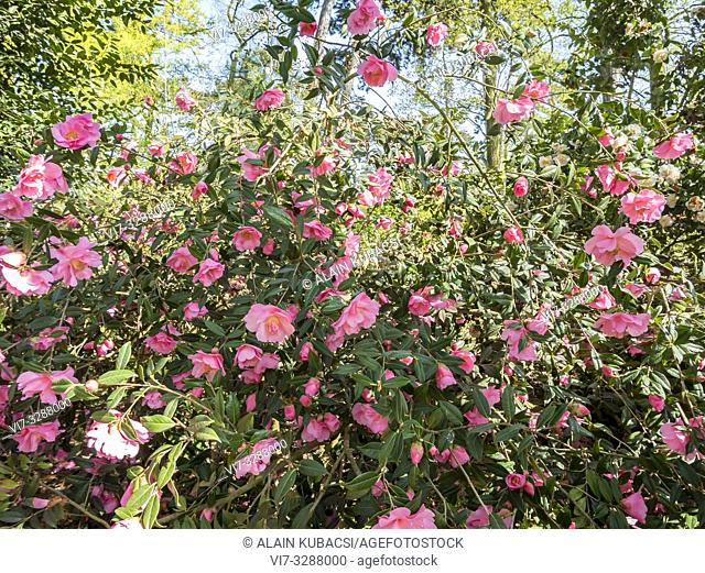 Camellia 'Mary Phoebe Taylor' (NZL) 1975